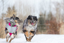 Mini Australian Sheepdogs Running