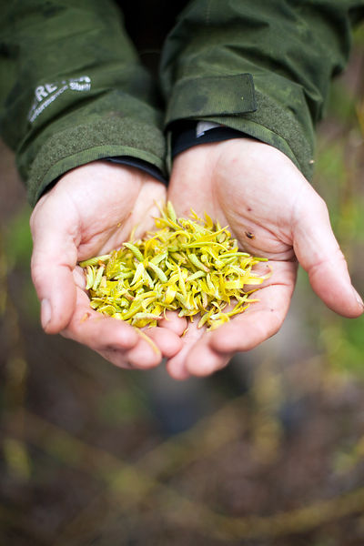 UK - Kent - Fergus Drennan collects Weeping Willow catkins by the River Stour