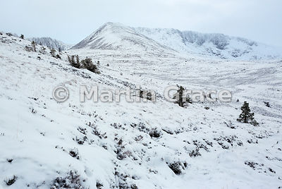 Coire an Lochain and Cairn Lochan in fresh snow, with a few self-sown Scots Pine trees (Pinus sylvestris var scotica), Cairng...