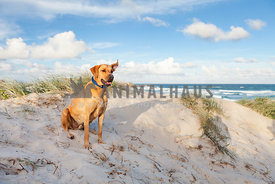 Large fawn dog sitting on dunes with surf beach in background