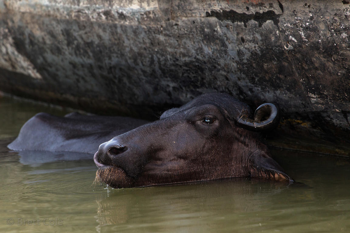 Water buffalo bathing in the Ganges River, Varanasi, India