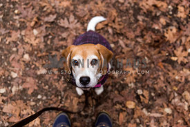 Beagle with leash on walk