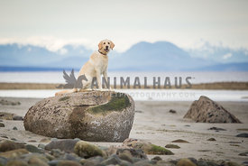 Young lab dog sitting on rock at the beach with mountains in background