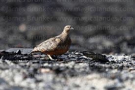 Rufous-bellied seedsnipe ( Attagis gayi) on scree slope