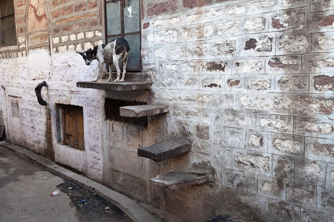 One of the countless stray dogs in Jodhpur, Rajasthan, India