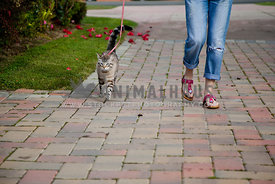tabby cat on leash walking with the owner on colored paving stones