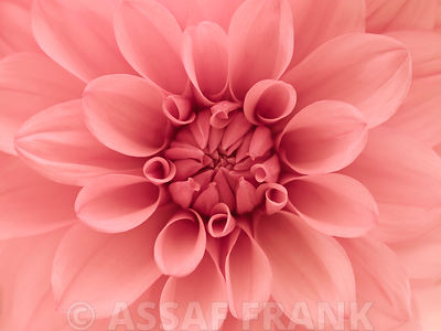 Extreme Close-up of Dahlia