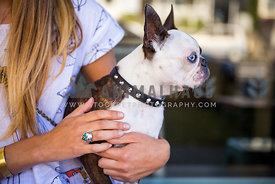 boston terrier held by owner at a cafe