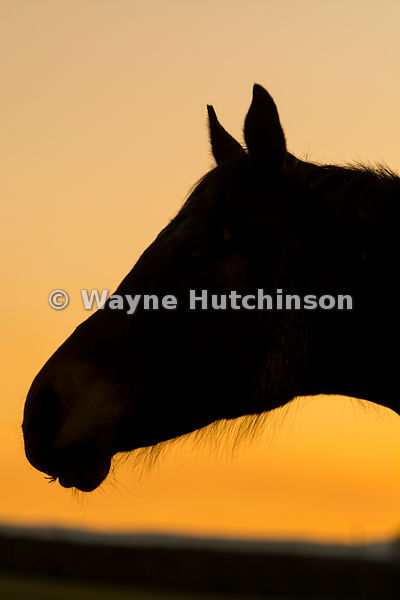 Horses head silhouetted against a sunset. Yorkshire, UK.