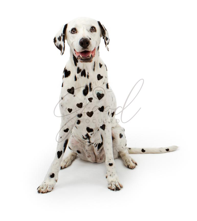 Dalmation Dog With Heart Shaped Spots