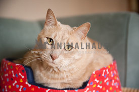 light orange tabby cat sitting in a red bed on a teal couch