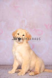 Golden Retriever puppy sitting in front of pink backdrop