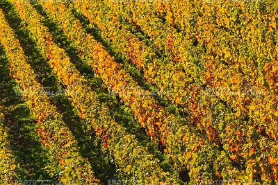 Champagne vineyards Cuis in Marne department, France