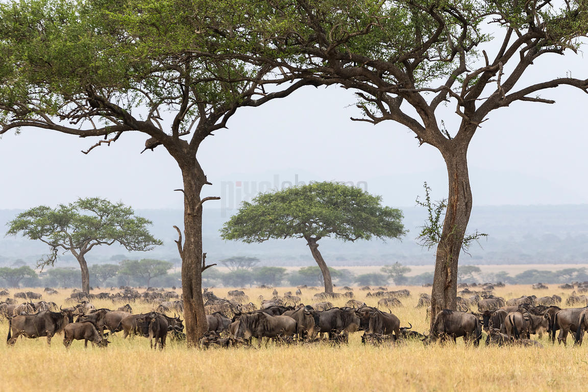 White Bearded Wildebeest Gather Beneath an Acacia Tree on the Serengeti Plain