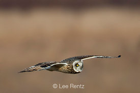 Short-eared Owl Hunting at Boundary Bay