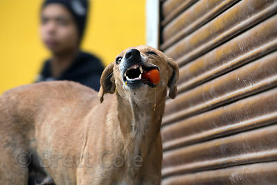 A street dog eats a tomato given to it by a vegetable seller in a market, Pushkar, Rajasthan, India