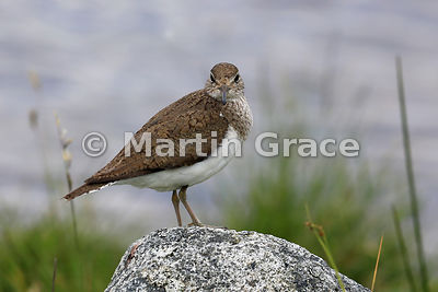 Common Sandpiper (Actitis hypoleucos),  Lochindorb, Inverness-shire, Scotland: Image 3 of 3 - head fully turned to look direc...