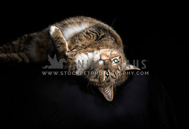 Low-key studio shot of adult tabby cat lying on a black background and looking at the camera