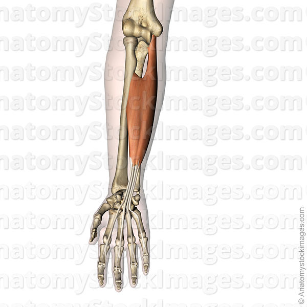 forearm-hand-musculus-flexor-digitorum-superficialis-muscle-middle-phalanx-skin