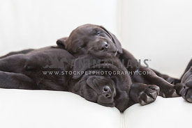 two black lab puppies sleeping on white couch