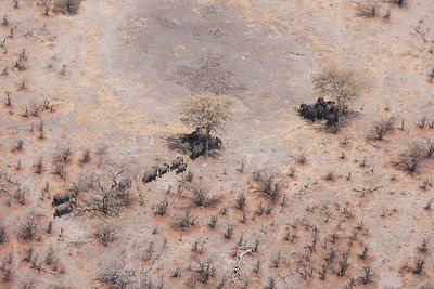 Aerial view of African elephants (Loxodonta africana) find shade under trees to avoid midday sun, during a drought. Northern ...