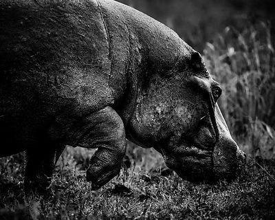 5838-Hippo_walking_on_the_river_bank_Laurent_Baheux