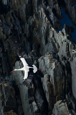 White stork {Ciconia ciconia} in flight over cliffs, Costa Vicentina, Alentejo, Portugal