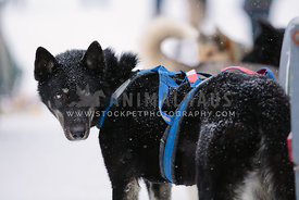 black bi-eyed husky sled dog in the snow turning to look at camera