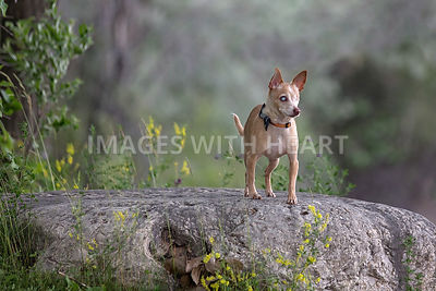 Senior blind chihuahua standing on a rock