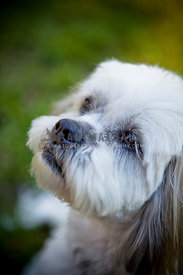 Close up face of white Maltese Dog