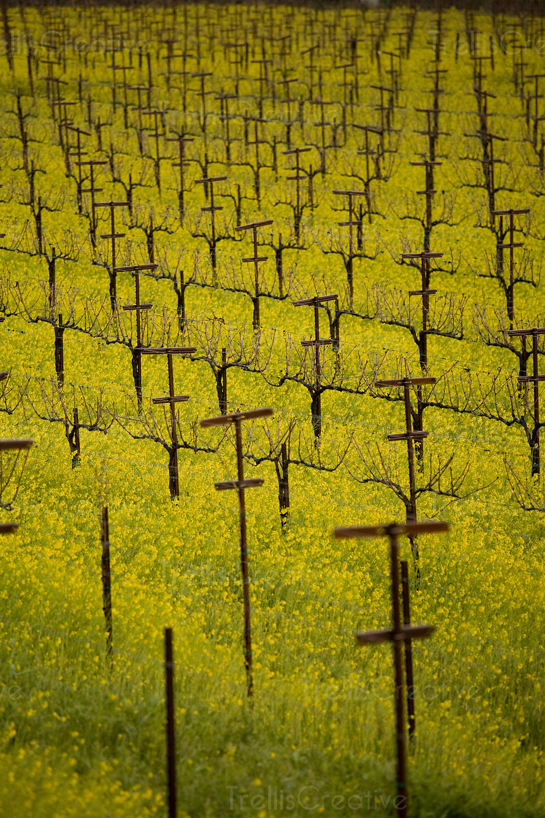 Looking across a field of wild mustard in a Napa Valley vineyard