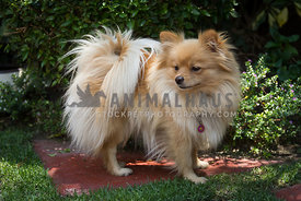 adult golden Pomeranian standing in a garden