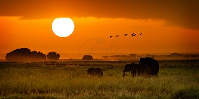 African Elephants Walking at Golden Sunrise
