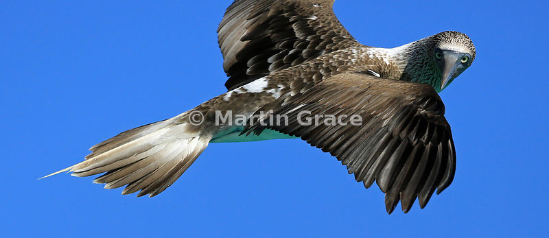 Close-up of Blue-Footed Booby (Sula nebouxii excisa) in flight, Sombrero Chino, Santiago, Galapagos Islands