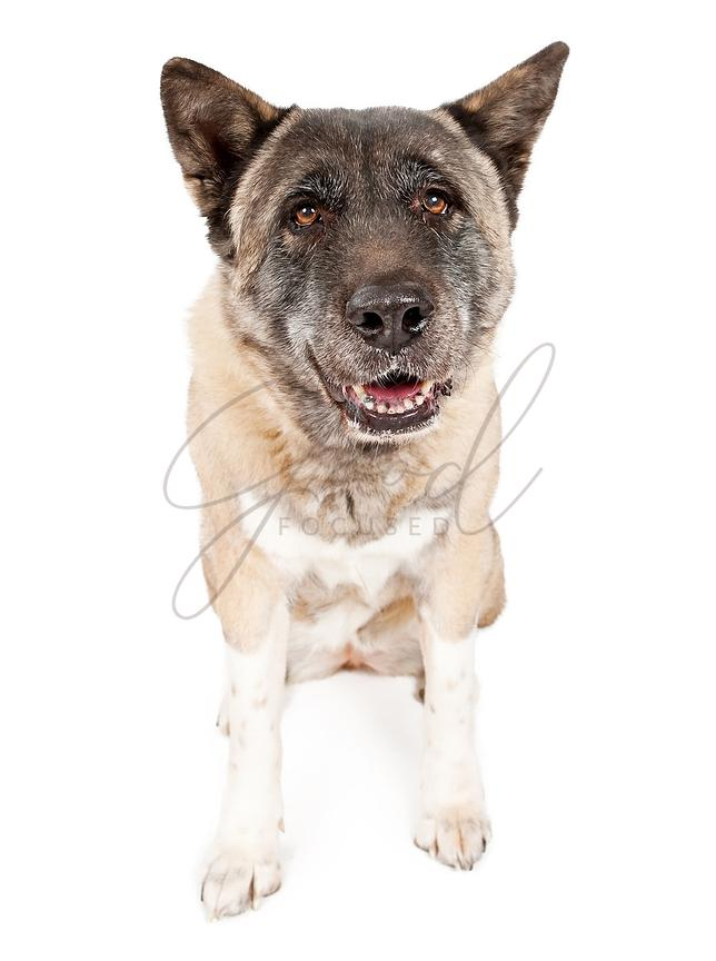 Akita Dog Isolated on White