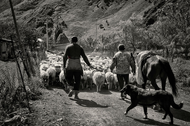 Shepherds Driving Sheep in the Sno Valley