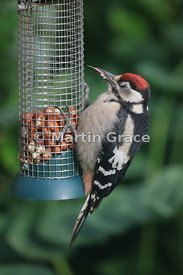 Juvenile Great Spotted Woodpecker (Dendrocopus major) feeding on peanuts at a garden feeding station, Cumbria, England: the t...