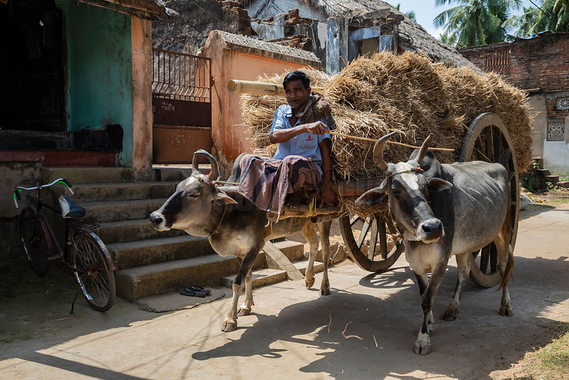 A Bullock Cart with a Load of Hay Rides through the Village of Raghurajpur