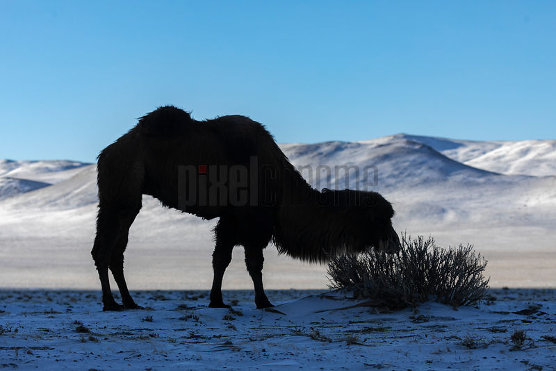 Silhouette of a Bactrian Camel Feeding on a Bush