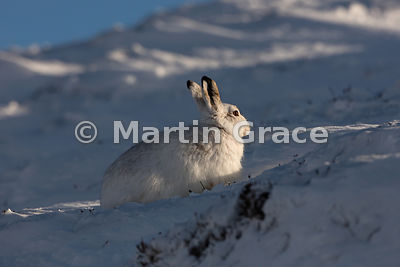 Mountain Hare (Arctic Hare) (Lepus timidus) in snow, warming itself in late afternoon winter sun, February 13, Strathdearn, S...