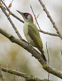 Green Woodpecker Picus viridis male Surrey autumn