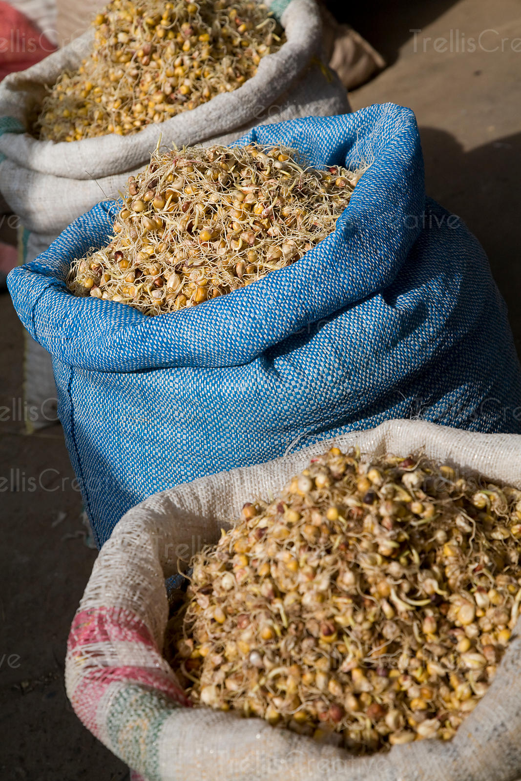 Sacks of giant sprouted corn kernels