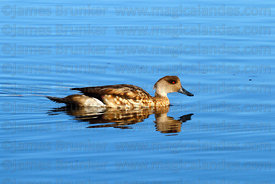Adult Andean Crested duck ( Lophonetta specularioides alticola )