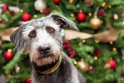 Terrier Dog Near Christmas Tree With Copyspace