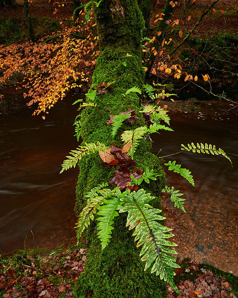 Autumn in the New Forest, with heavy rain having intensified colours of foliage of the Beech trees and bracken.