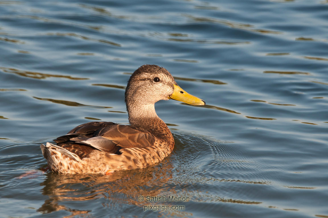 Mallard Duck, CA, USA