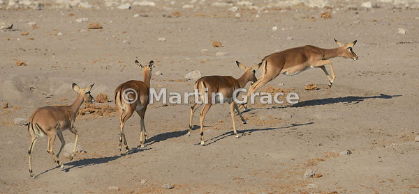 Four female Black-Faced Impala (Aepyceros melampus petersi), Etosha National Park, Namibia - not a photomontage