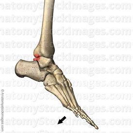 ankle-posterior-impingement-bones-tibia-talus-lateral-plantar-flexion