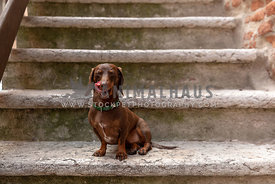 A dachshund licking his lips while sitting on a rustic staircase outdoors