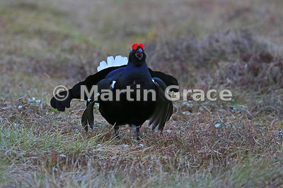 Male Black Grouse (Lyrurus (Tetrao) tetrix) on the lek, April 8, Badenoch & Strathspey, Scotland